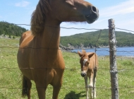 Horses Near Back Cove (by Marilyn Pincock)