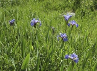Irises growing in the meadow on the way to the community stage (by Marilyn Pincock)